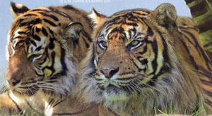 Tigers at the Zoo, Les Sables-d'Olonne